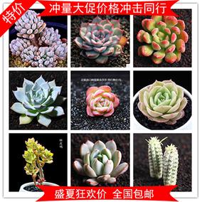 昂斯洛多肉植物图片图片