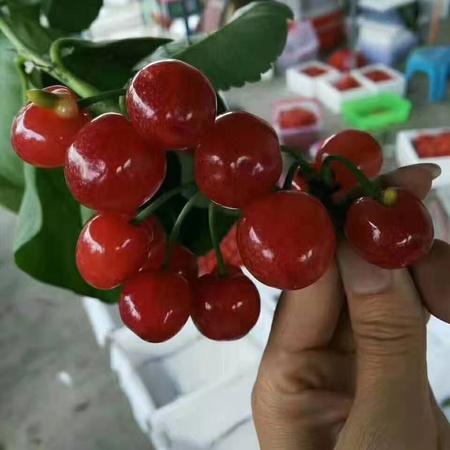 小樱桃红妃玛瑙红诸暨短柄黑珍珠南早红